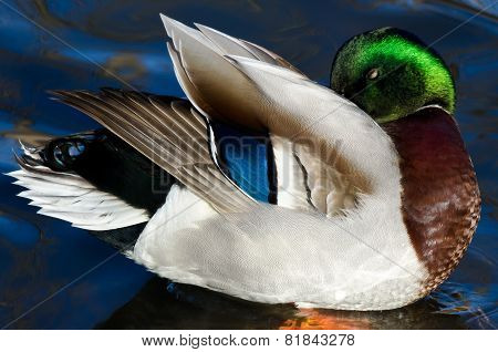 Beautiful Mallard Duck Preening And Showing Off Its Colors