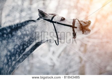 Portrait Of A Gray Sports Horse In The Winter