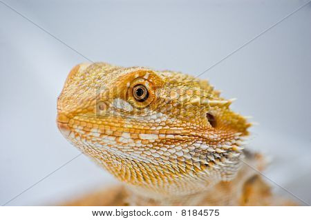 Close Up Bearded Dragon