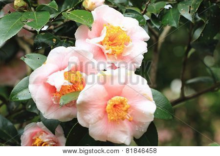 Camellia flowers and raindrop
