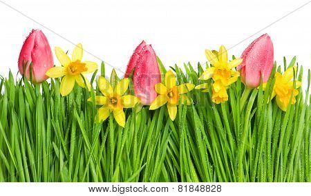 Spring Tulip And Narcissus Flowers In Green Grass With Water Drops
