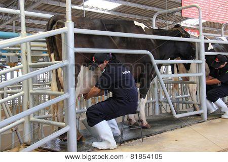 Cows Being Milked Professionally At Chok Chai Farm, Thailand