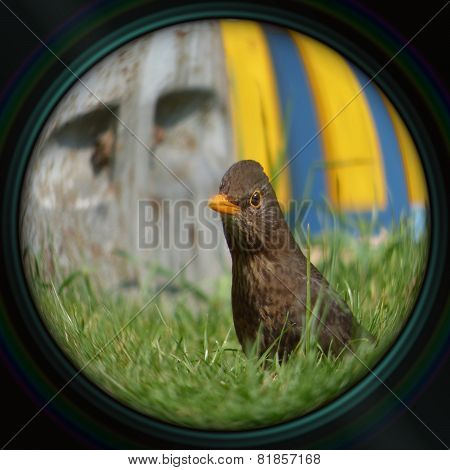 Blackbird Female In Objective Lens
