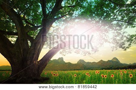 Rain Tree And Sun Shining On The Sky With Sunflowers Field Background