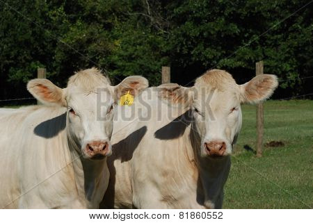 Yearling Charolais