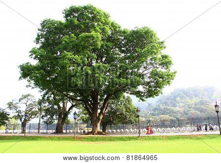 The big tree in the Temple of Tooth relic, Kandy
