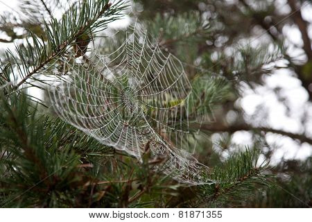 Dew On Cobweb