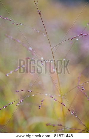 Dew On Wild Grass