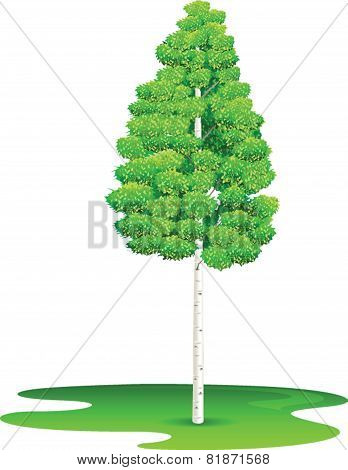 Birch Tree - Illustration