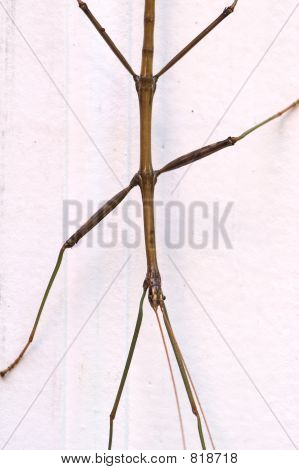 Walking Stick Body