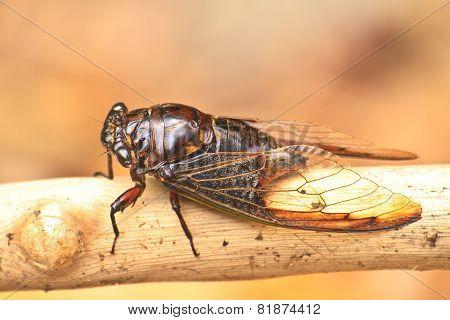 Cicadas on the trees