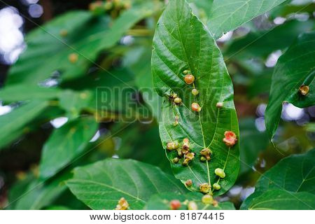 Parasitic plants develop on the leaves