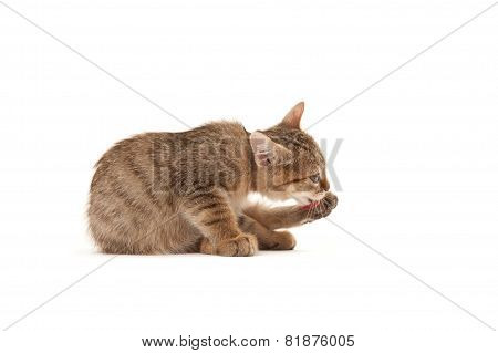 Kitten Lying On The Floor And Washing Oneself Isolated