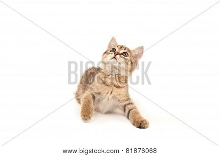 Kitten Lying On The Floor And Looking Up Isolated