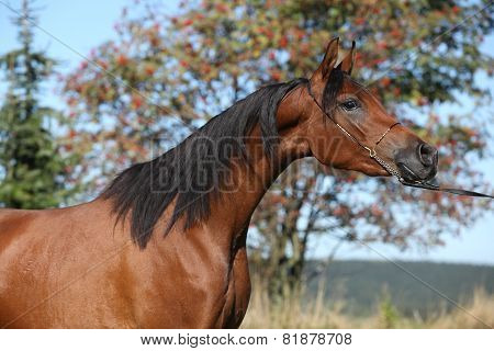 Beautiful Arabian Mare