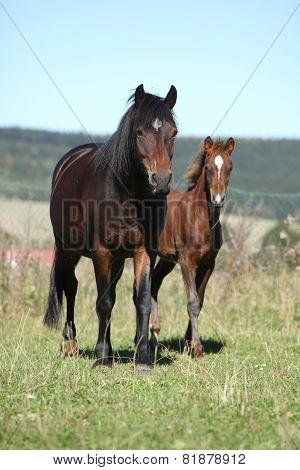 Mare Of Czech Sport Pony With Its Foal