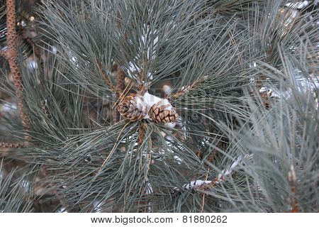 Snow clinging on to a pine cone