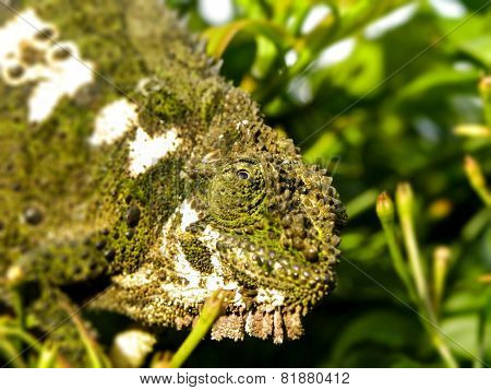 Southern African Dwarf Chameleon