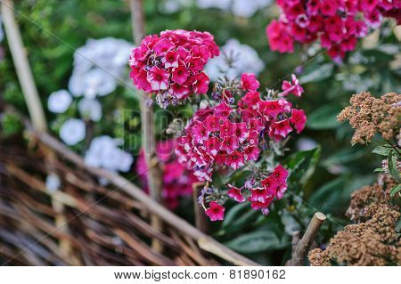 blooming phlox in summer garden