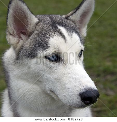 Rideable Siberische husky
