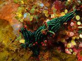 picture of slug  - The surprising underwater world of the Bali basin - JPG