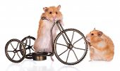 picture of mischief  - two funny hamsters standing on a bicycle - JPG