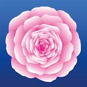 picture of carnation  - Pink carnation - JPG