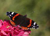 stock photo of zinnias  - Red Admiral butterfly on purple zinnia flower - JPG