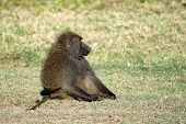 picture of anubis  - Olive baboon  - JPG