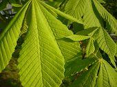 foto of chestnut horse  - Aesculus hippocastanum is a large deciduous tree - JPG