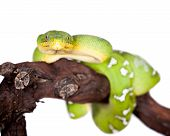 stock photo of green tree python  - Emerald tree boa, Corallus caninus, isolated on white background ** Note: Shallow depth of field - JPG
