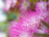 stock photo of suriname  - Extreme closeup pink powderpuff blooming like dream with shallow DoF - JPG