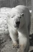 picture of polar bears  - Photo of Ganuk the polar bear at the Cochrane Polar Bear Habitat.