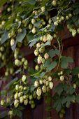 image of hop-plant  - Image of  hop cones in the hop garden  - JPG