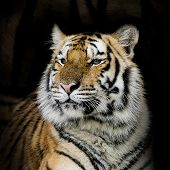 picture of tigers-eye  - Closeup Bengal tiger animal wildlife black color background - JPG