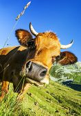 picture of calf cow  - Cow farm animal in the french alps Abondance race cow savy beaufort sur Doron - JPG