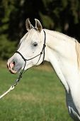 foto of arabian horse  - Portrait of amazing white stallion of arabian horse - JPG