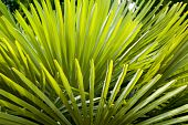 stock photo of saw-palmetto  - Vibrant Green abstract Palm frond Background texture - JPG