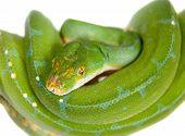 stock photo of pythons  - Morelia viridis - JPG