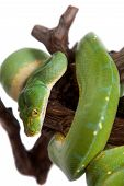 picture of pythons  - Morelia viridis - JPG