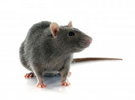 stock photo of rats  - gray rat in front of white background - JPG