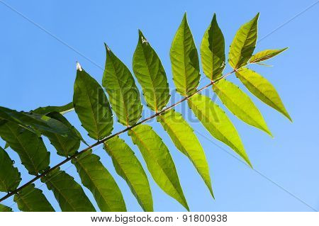 Green Odd Pinnate Leaf Of A Tropical Plant