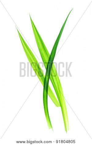 Fresh Pandan leaves isolated on white background, also known as Fragrant Pandan, Pandanus Palm, Pandom wangi.(Pandanus amaryllifolius)