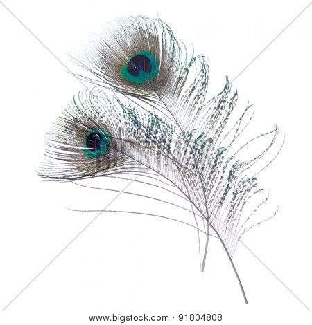 Close-up peacock feathers isolated on white background.