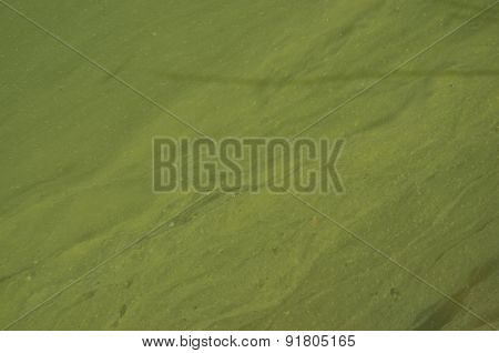 Green And Messy Surface Of Lake Photo