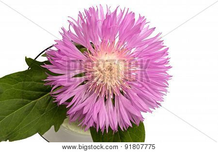 Aster Close Up Over White