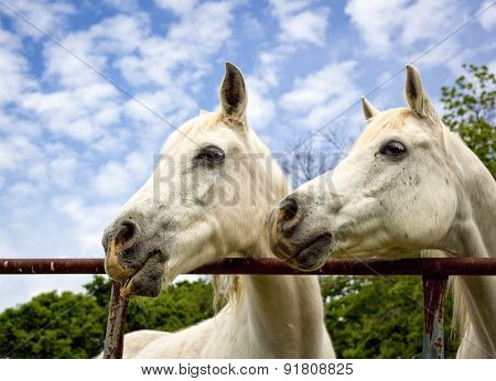 Two Arabian horses looking left