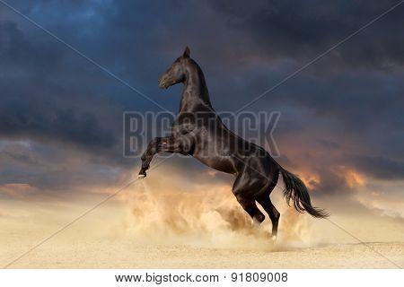 Black achal teke horse in desert dust