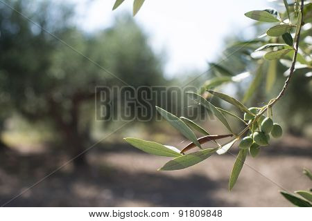 Olive Branches