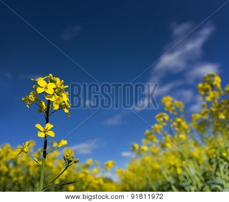 Rapeseedflower